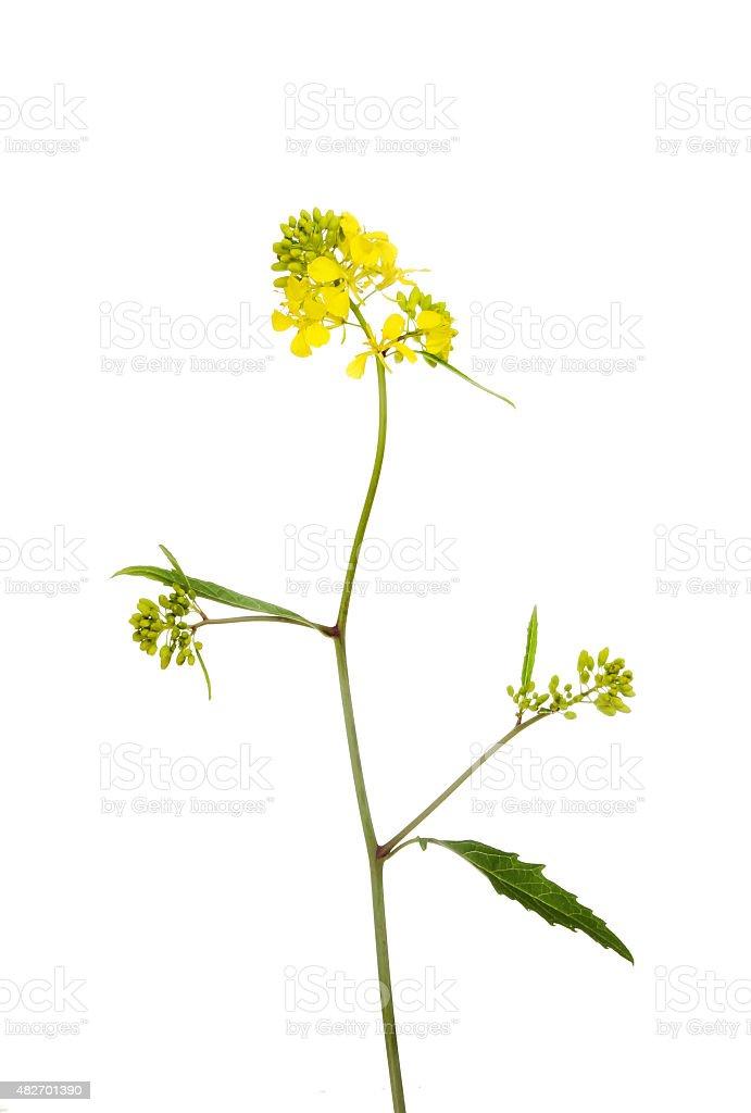 Rapeseed plant stock photo