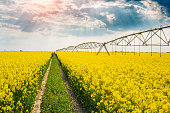 Rapeseed with irrigation system