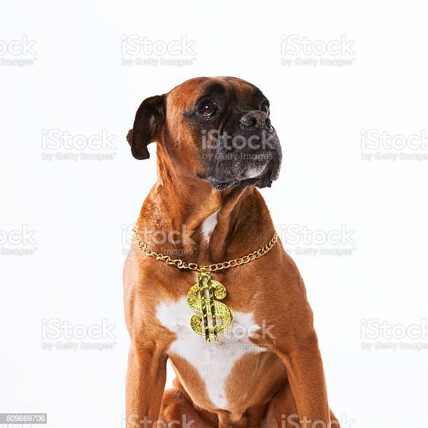 Rapper boxer dog picture id509669706?b=1&k=6&m=509669706&s=612x612&h=yupnnr5pwxovgjpmmacm1 v7o 1gd70inl6adndmicy=