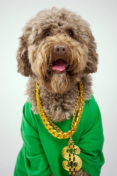 rapper hund - pimp stock-fotos und bilder