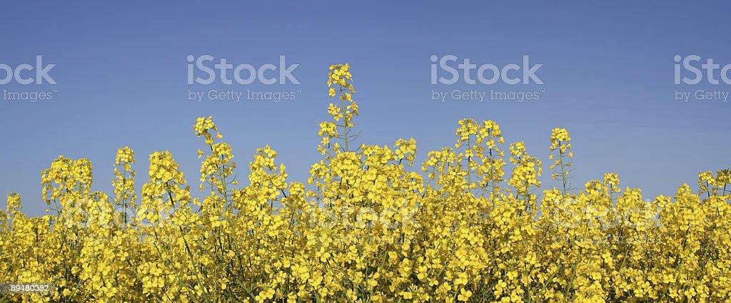 Rapsfeld stock photo