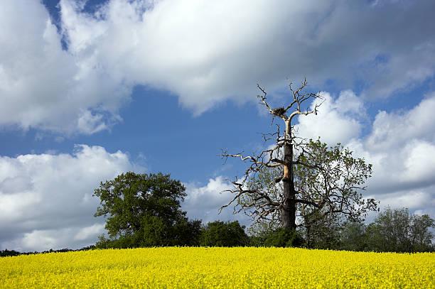 Rapsfeld Unter Blauem Himmel – Foto