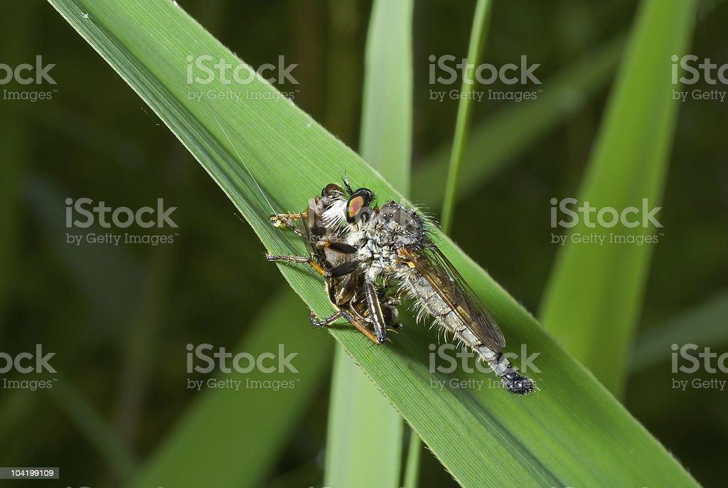 Raptorial fly (Asilella londti) royalty-free stock photo