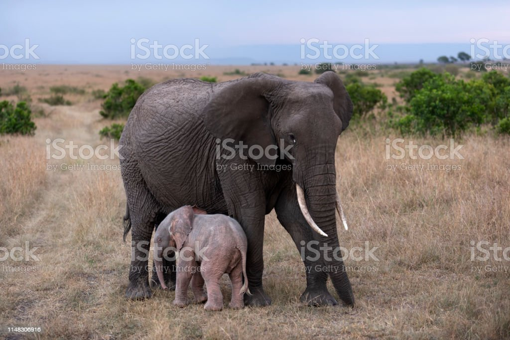 Rare African Albino Elephant New Porn Stock Photo Download Image