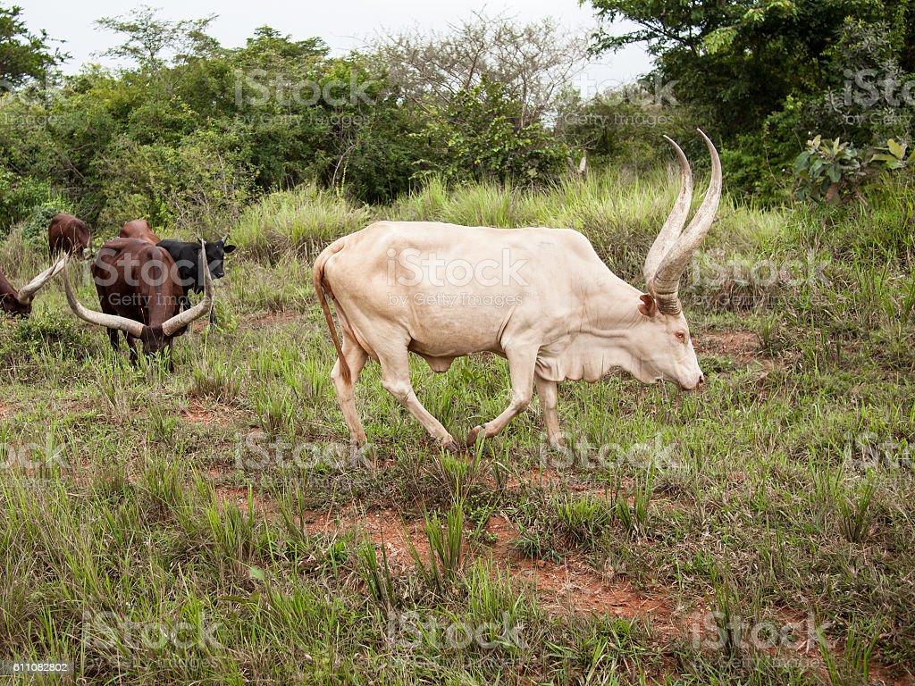 Rare albino Ankole Watusi bull with big horns grazing field stock photo