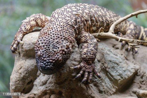 Rare beaded lizard