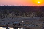 Rare Black Rhinos drinking from waterhole at sunset. Wildlife Safari in Etosha National Park, the main travel destination in Namibia, Africa.