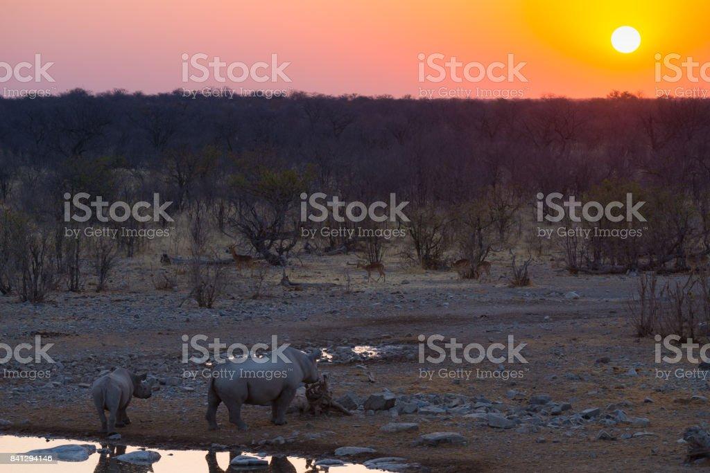 Rare Black Rhinos drinking from waterhole at sunset. Wildlife Safari in Etosha National Park, the main travel destination in Namibia, Africa. stock photo