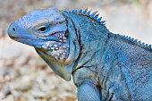 Stylized Iguana