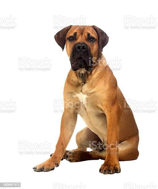 Rare breed south african boerboel posing in studio picture id183997412?b=1&k=6&m=183997412&s=612x612&h=jaskcucrd4 zoa pzjyh9rafv4ikg4plyxfpcbf2ilw=