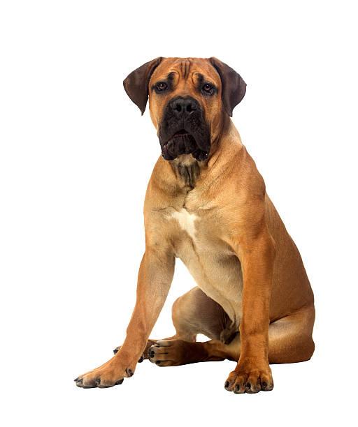 Rare breed south african boerboel posing in studio picture id183997412?b=1&k=6&m=183997412&s=612x612&w=0&h=r2x22pbhb0jm3u71qezej2gjrwoxfmjz80xnt135xuq=