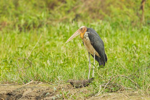 Rare female Lesser adjutant stork Rare female Lesser adjutant stork (Leptoptilos javanicus) in nature of Thailand adjutant stock pictures, royalty-free photos & images