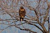 Lower Klamath National Wildlife Refuge.\nNorthern California's Klamath Basin.\n\nAdult Ferruginous Hawk/Rufous Morph.\nA Truly Rare Color For An Eagle Hawk.