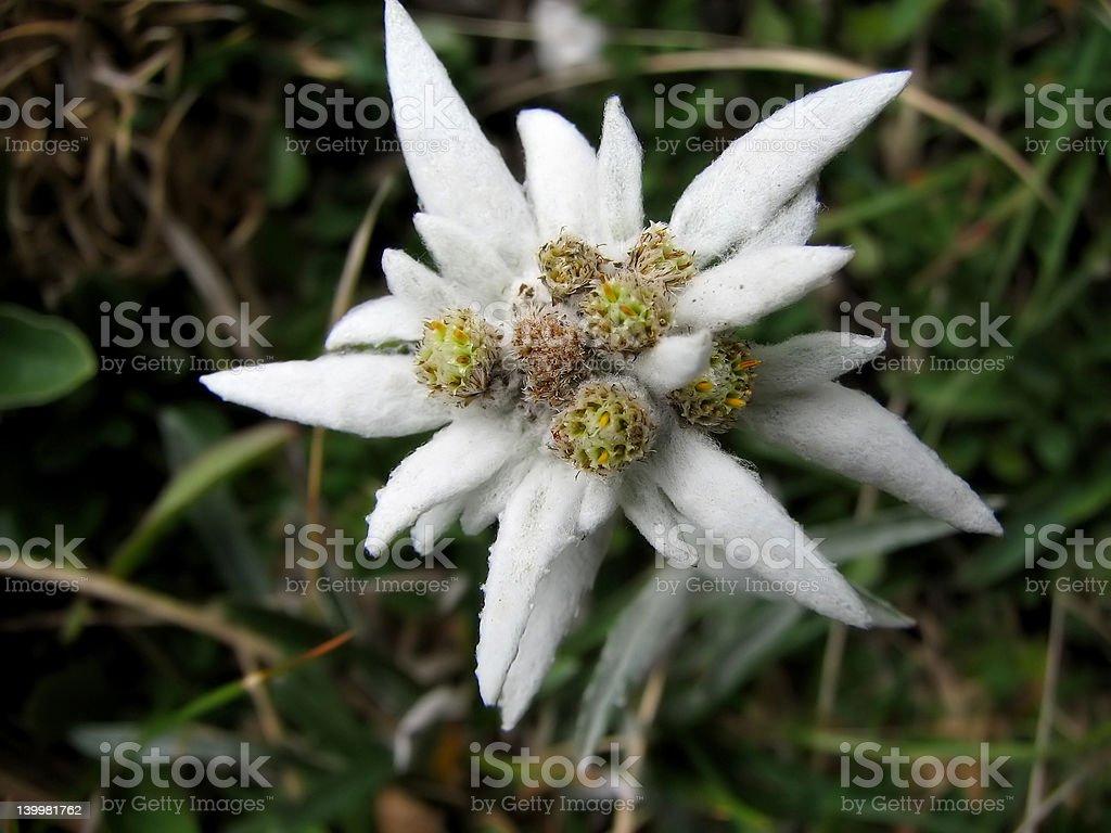 Rare flower royalty-free stock photo