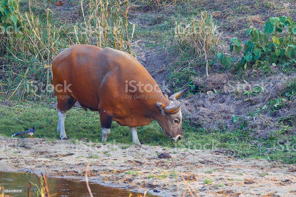 Rare full age of male Banteng(Bos javanicus ) stock photo
