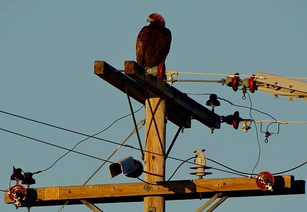 rare golden eagle - 육식조 뉴스 사진 이미지