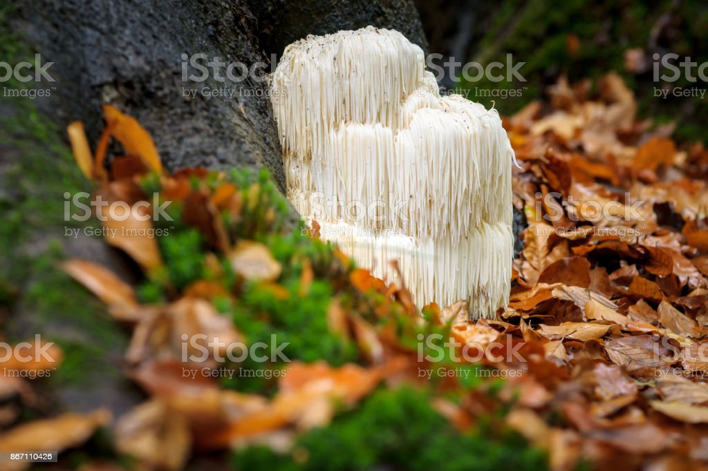 Rare Lion's mane mushroom in a Dutch forest stock photo