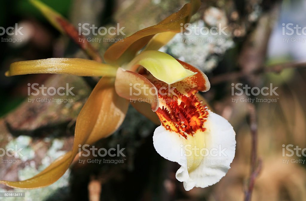 Rare orchid bloom stock photo