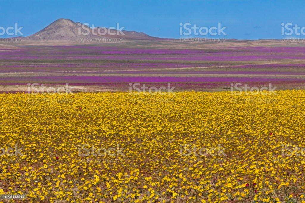 A rare phenomenon, flowers fields inside Atacama Desert stock photo