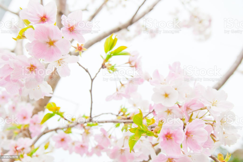 rare pink and white cherry blossoms in the springtime stock photo