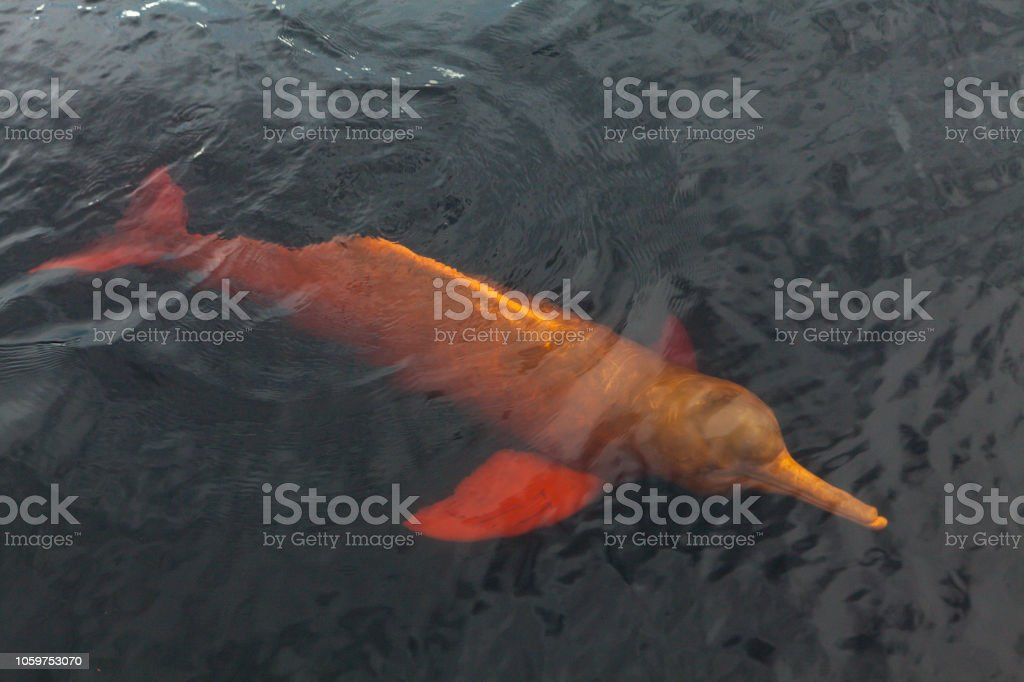 Eine seltene rosa Delfin