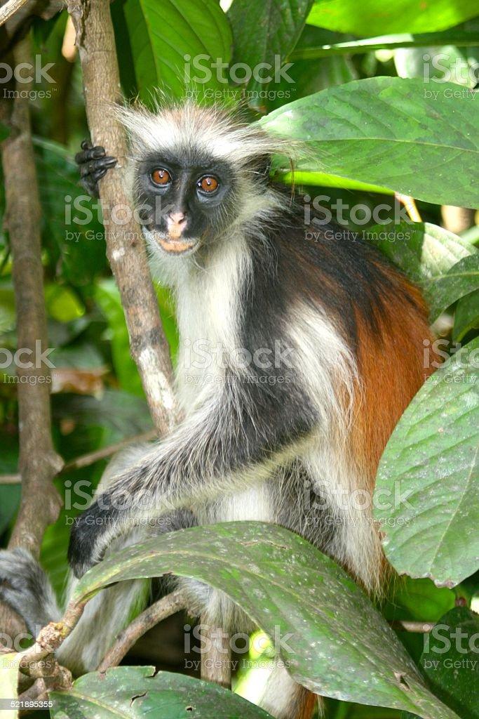Rare Red Colobus Monkey from Zanzibar stock photo
