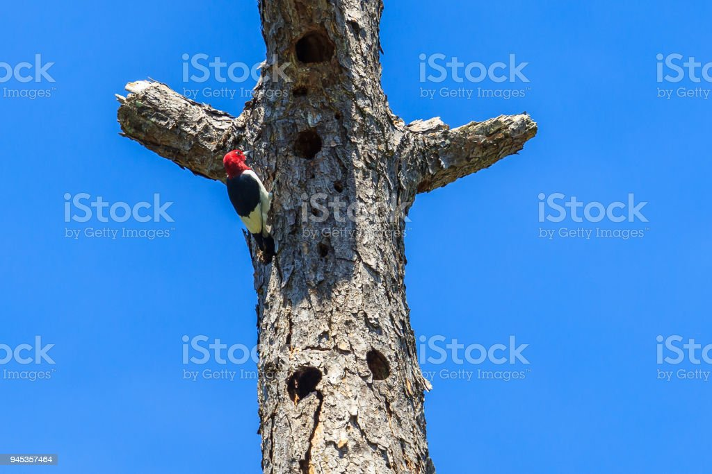 Rare Red Headed Woodpecker stock photo
