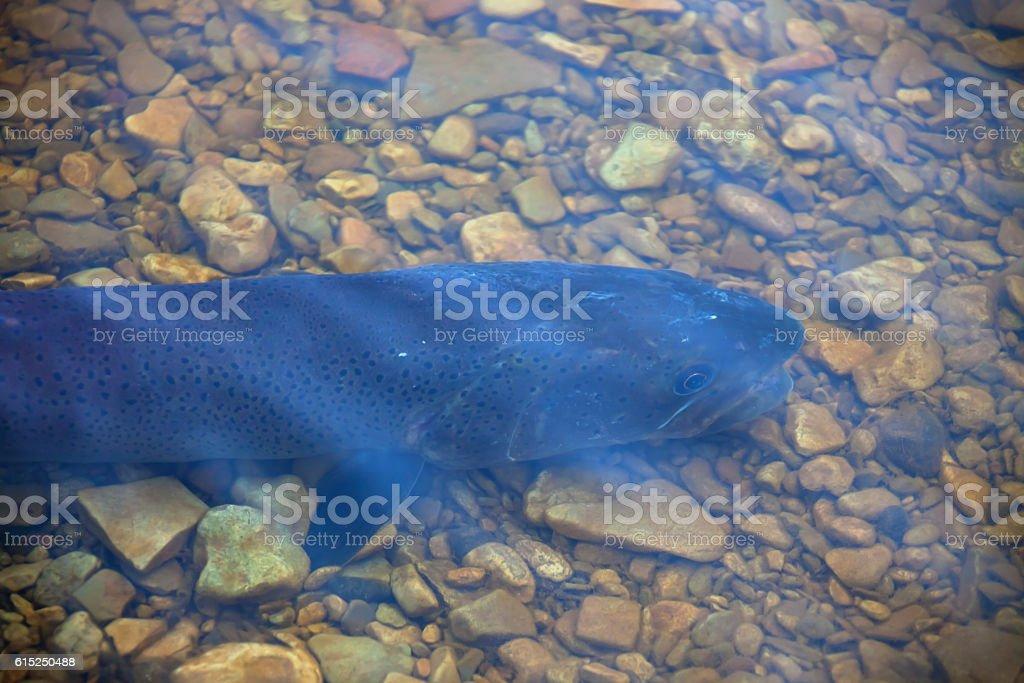 Rare river fish Siberian taimen into the shallows stock photo
