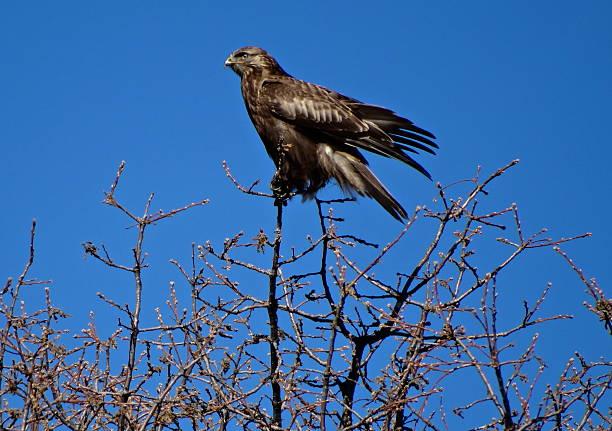 Rare Rough Legged Hawk stock photo