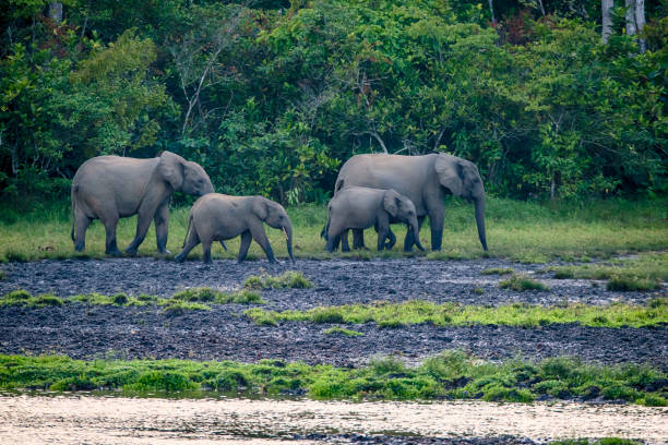 Rare shot of African forest elephants in the rainforest, Congo stock photo