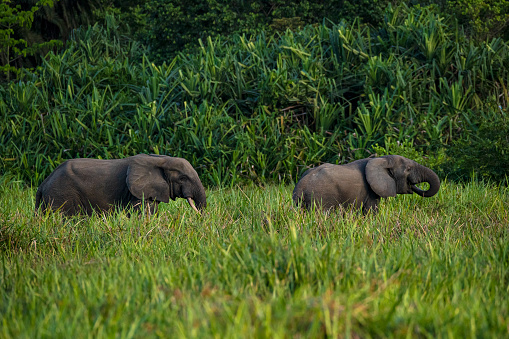 Rare shot of African forest elephants in the rainforest, Congo