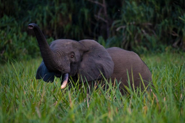 Rare shot of an African forest elephant in the rainforest, Congo stock photo