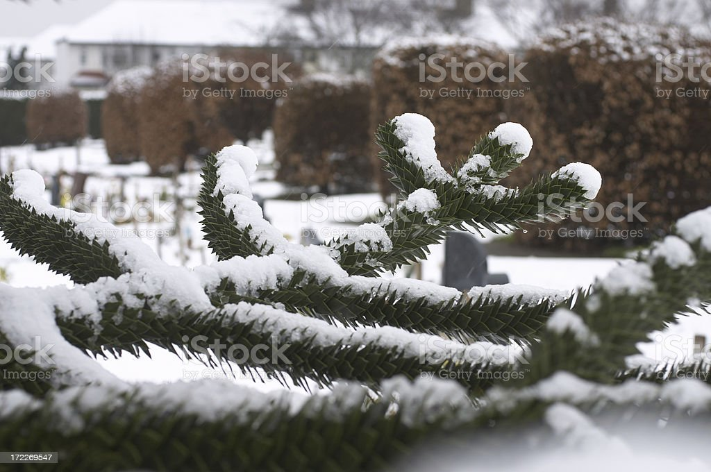 Chile pine monkey puzzle tree in winter snow stock photo