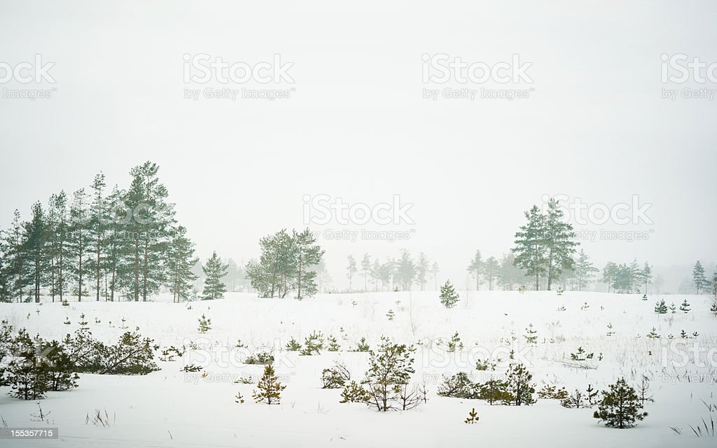 Rare trees under heavy snow storm in russian wilderness royalty-free stock photo