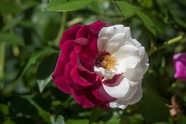 seltene zweifarbige rose - spleißen stock-fotos und bilder