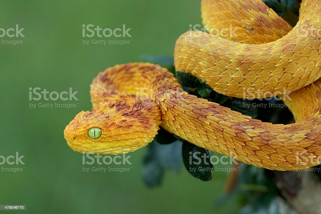 Rare Variable Bush Viper (Red/Yellow Phase) in Rainforest stock photo