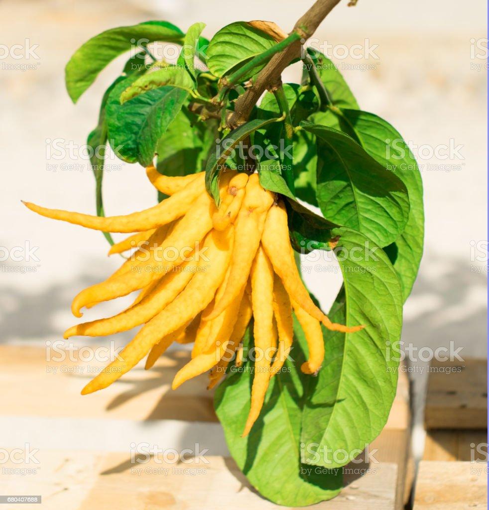 Rare variety of Ligurian mutated lemons stock photo