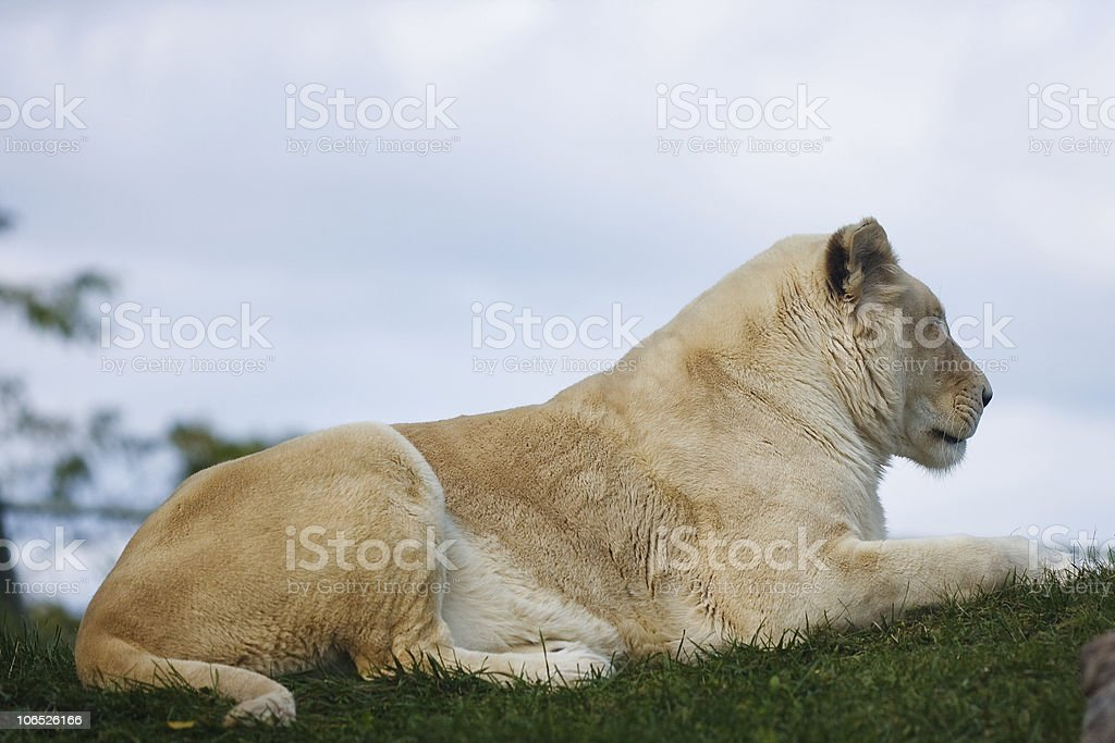 Rare white african lioness royalty-free stock photo