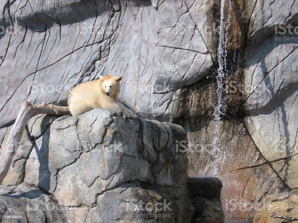 Rare White Brown Bear #2 royalty-free stock photo