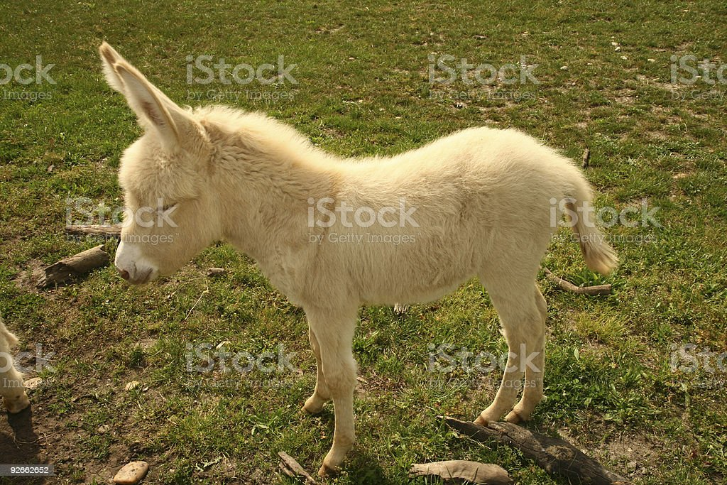 Rare white donkey royalty-free stock photo