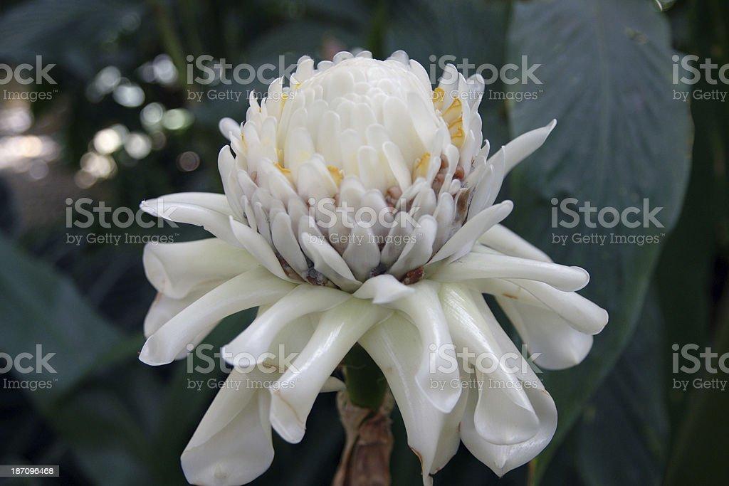 Rare White Ginger Flower Etlingera Elatior Vertical Stock Photo
