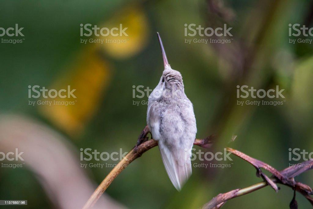 Rare blanc Leucistic Magnificent Hummingbird (Eugenes spectabilis) San Gerardo de Dota, Costa Rica photo libre de droits