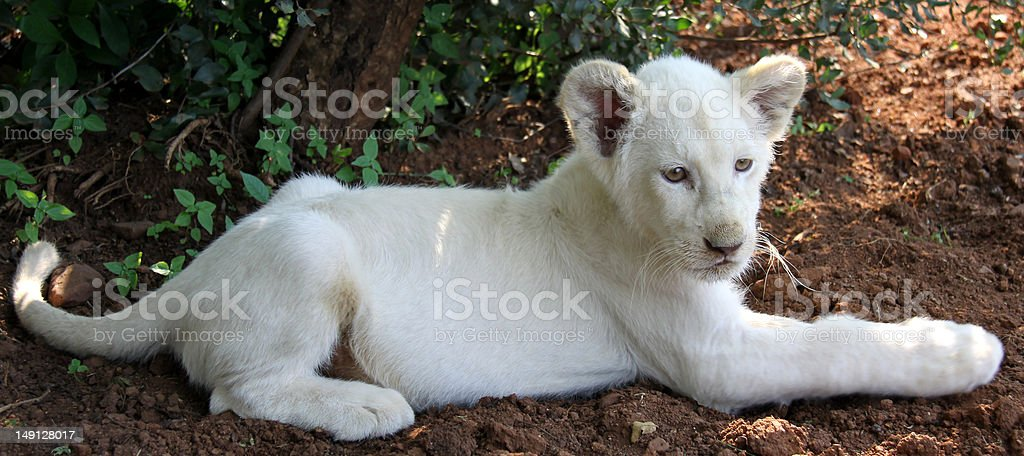 Rare White Lion cub stock photo