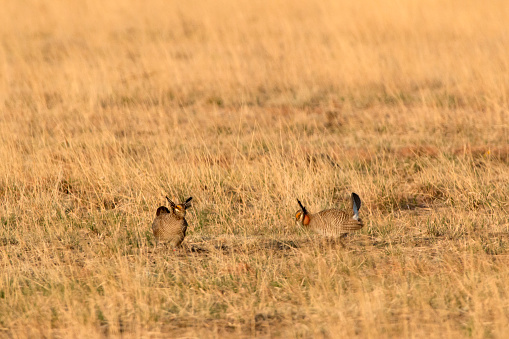 At sunrise outside Holly, Colorado, a pair of male lesser prairie chickens face off on a parade ground or lek in the springtime mating ritual.