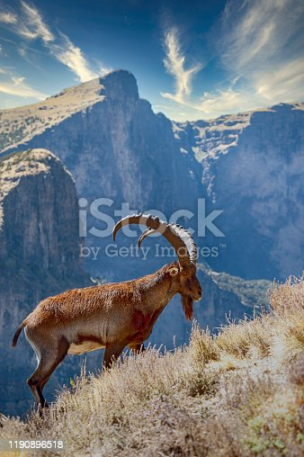 Rare WILDLIFE SHOT of a WALIA IBEX (Capra walie) – this animal is endemic in the mountains of Ethiopia and is CRITICALLY ENDANGERED (listed on the IUCN RED LIST). Only less than 500 individuals survived in the Simien Mountains National Park in Northern Ethiopia.