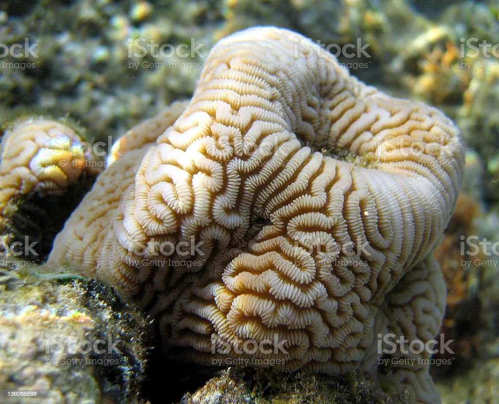 Rarotongan Coral royalty-free stock photo