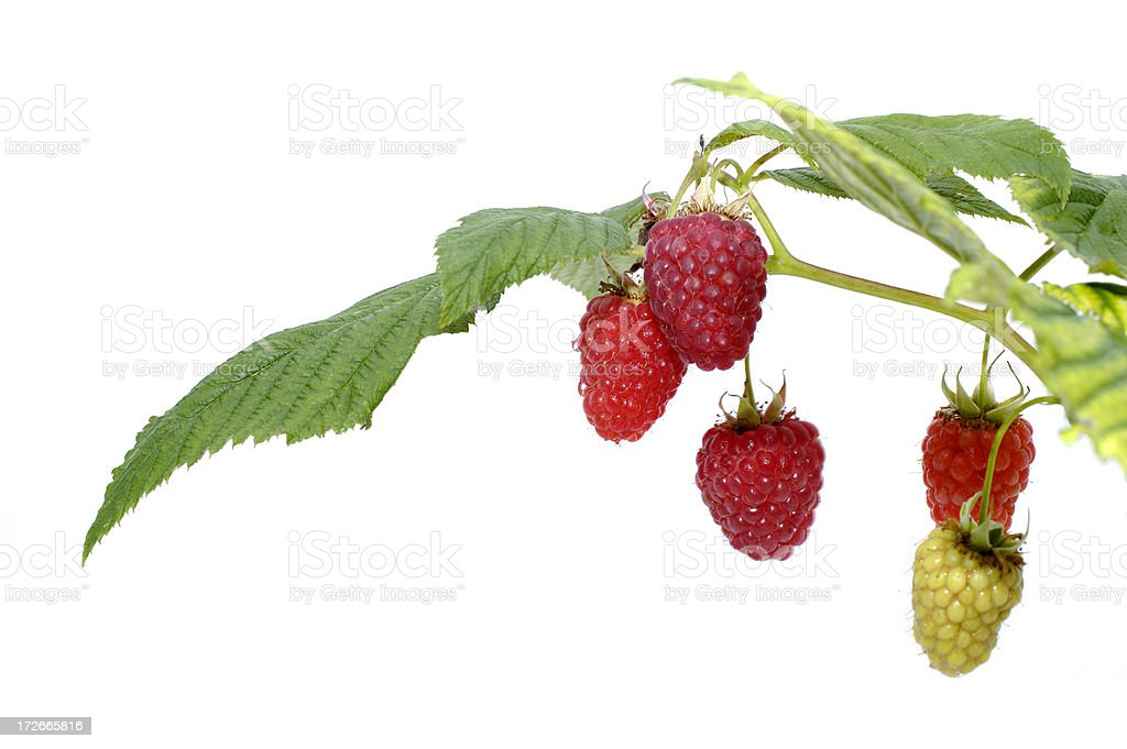 rasberry cane royalty-free stock photo