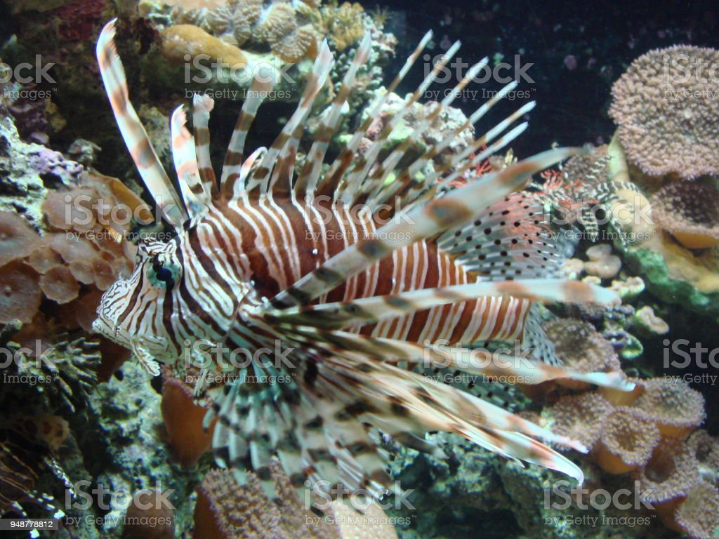 Rascassa Pterois stock photo