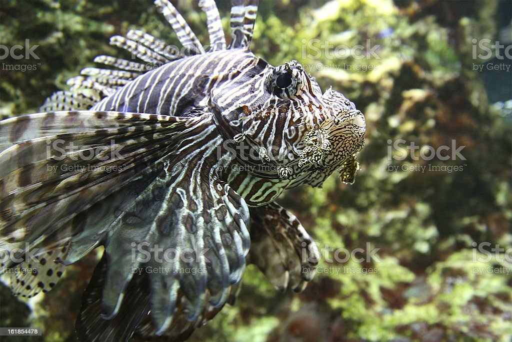 Rascasse fish side view sea underwater royalty-free stock photo