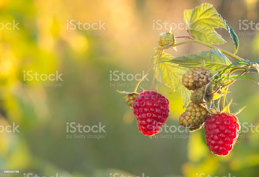 Raspberries. Growing Organic Berries closeup. Ripe raspberry in the fruit royalty-free stock photo